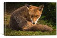 Fox Stare 1, Canvas Print