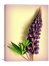 Painted Purple Lupin, Canvas Print