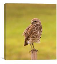 Burrowing Owl On Post, Canvas Print