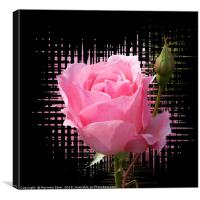 pink rose splash, Canvas Print