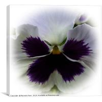 Purple and white pansy, Canvas Print