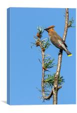 Cedar Waxwing on the Lookout, Canvas Print