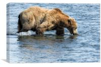 Brown Bear Going for a Dip, Canvas Print