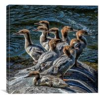 A Bouquet of Mergansers, Canvas Print