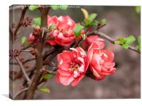 Quince , Canvas Print