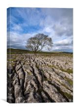 Lone Tree at Malham, The Yorkshire Dales, Canvas Print