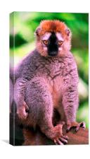 JST2802 Red-fronted Lemur, Canvas Print