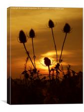Teasel Sunset, Canvas Print