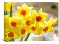 Daffodils in Spring light, Canvas Print