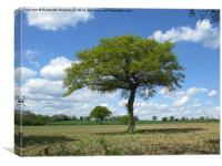 Single Oak tree on farmland in spring., Canvas Print