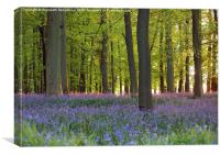 Bluebells with Sunset Highlights, Canvas Print