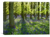 Chiltern Bluebells  in Spring, Canvas Print
