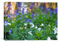 Bluebells and Wood Anemones in April., Canvas Print