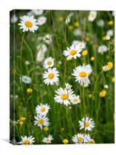 Ox-Eye Daisies and Buttercups in the Verge, Canvas Print