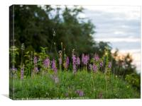 Fragrant Orchids at Dusk in the Chilterns, Canvas Print
