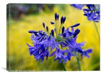 Blue Agapanthus Flowers, Canvas Print