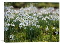Snowdrops Galore in a Country Churchyard, Canvas Print
