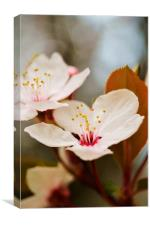 Cheery blossoms, Canvas Print