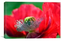 Gorgeous red russet flower, Canvas Print