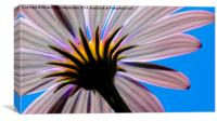 In The Shade Of An African Daisy, Canvas Print