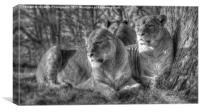 Lionesses, Canvas Print