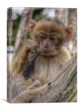 Baby Barbary Monkey , Canvas Print