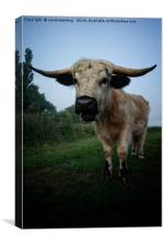 White Horned Cow Mix Breed, Canvas Print