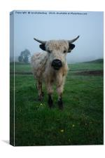 Young White High Park Cattle Mix, Canvas Print