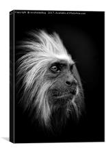 Golden Headed Lion Tamarin Mono, Canvas Print