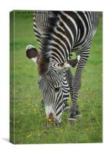 Grazing Zebra, Canvas Print