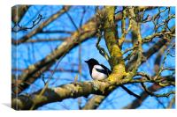 Young magpie in a tree, Canvas Print