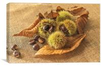 Sweet Chestnut seed pods, Canvas Print