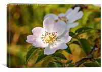 Wild pink dog rose, Canvas Print