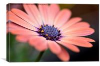 Osteospermum beauty, Canvas Print
