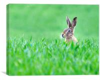 Hare in a field., Canvas Print