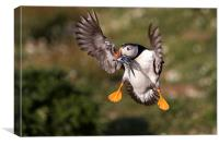 Puffin with Sand Eels, Canvas Print