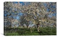 Cherry Trees in Blossom., Canvas Print