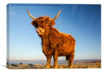 Scottish Highland Angus Cow, Canvas Print