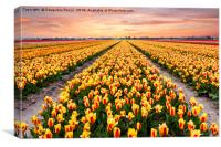 A colourful evening at a Dutch Tulip field, Canvas Print