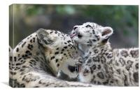 Snow leopard cub washes mum., Canvas Print