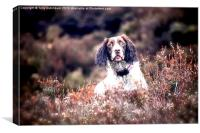 Spaniel in the heather, Canvas Print