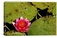 Pink Water Lilly, Canvas Print