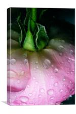 Rose after the rain, Canvas Print