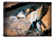 Swallow feeds chick., Canvas Print