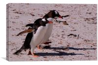 Gentoo Penguins, Saunders Island, Falklands, Canvas Print