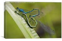 Common Blue Damselfly, Canvas Print