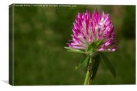 Red Clover, Canvas Print
