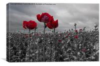 Opium Poppy Field, Canvas Print