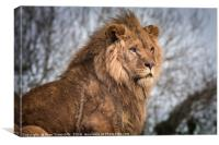 African Lion, Canvas Print