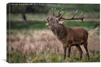 Royal red deer stag, Canvas Print